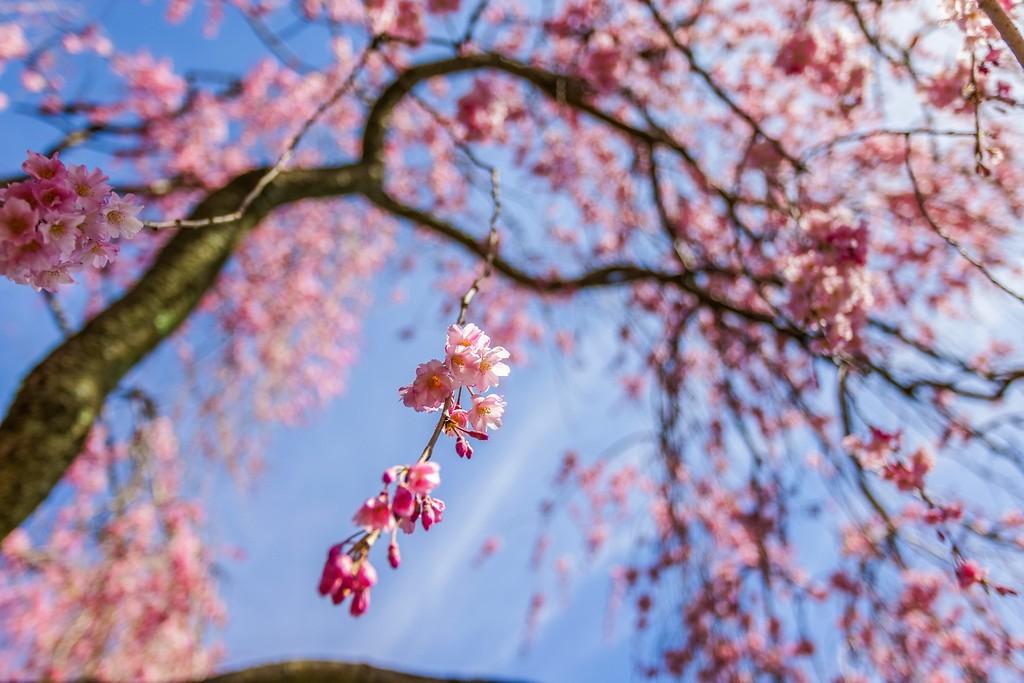 樱花,春天的彩裙