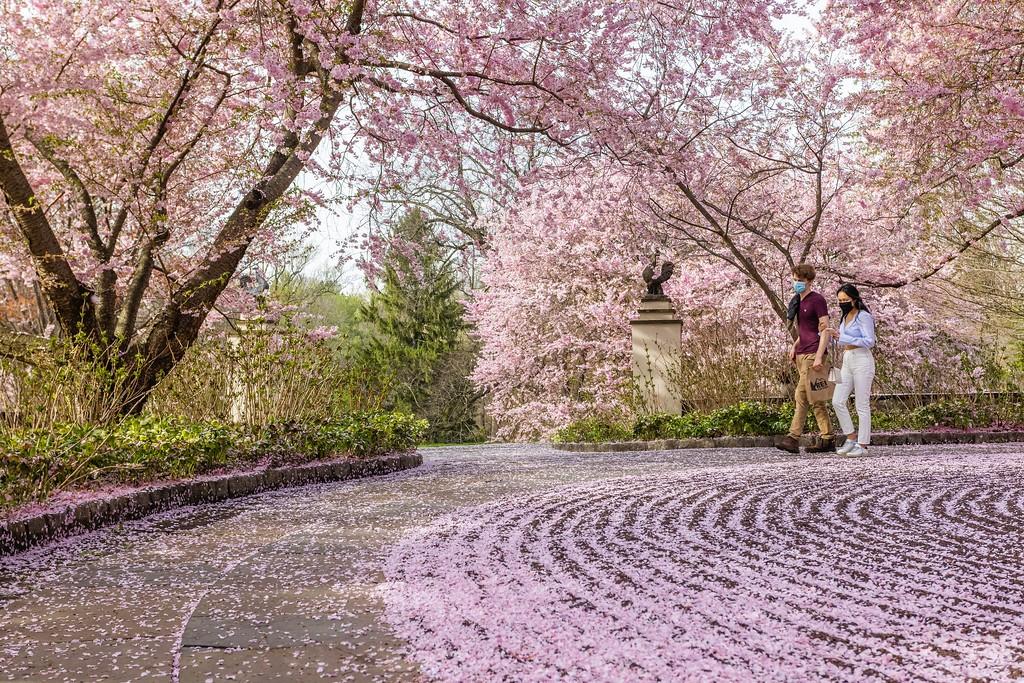 Chanticleer花园,满园樱花