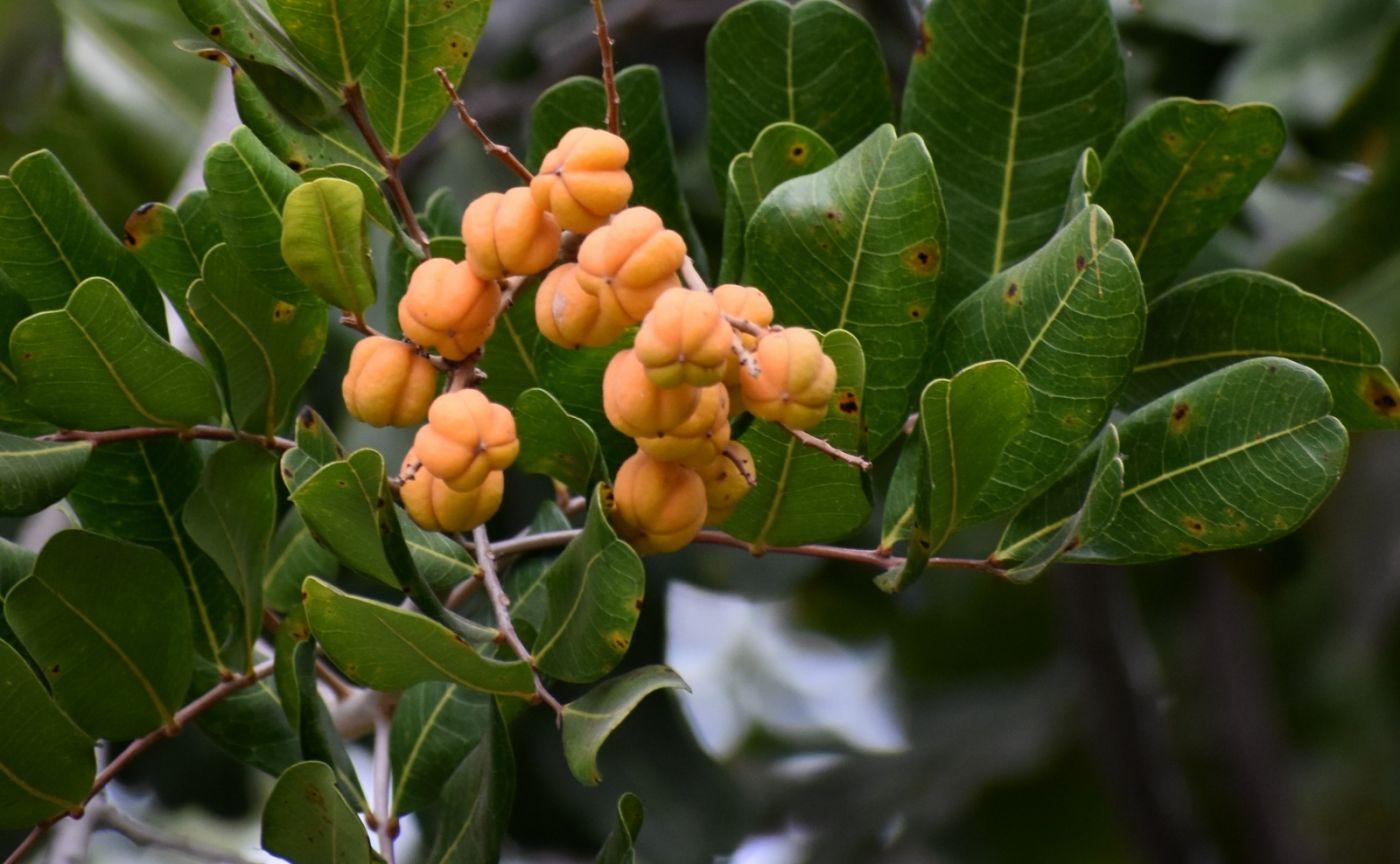 胡萝卜树的果实