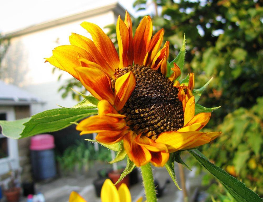 我家向日葵