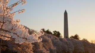 华盛顿樱花季即将到来 看2019赏樱攻略!预计4月初达到峰值