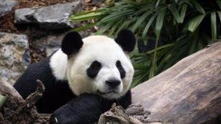 """旅加大熊猫回中国旅程仍未成行 面临""""断炊""""挑战"""